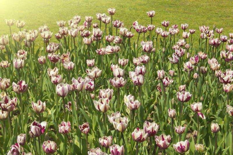 Mooie en romantische mening van gebied van tulpen bij zonsondergang stock fotografie