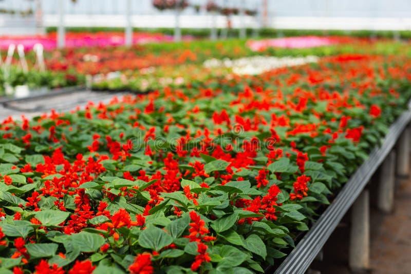 Mooie en well-kept bloemen van salvia in de serre De installaties zijn klaar voor de uitvoer stock afbeelding