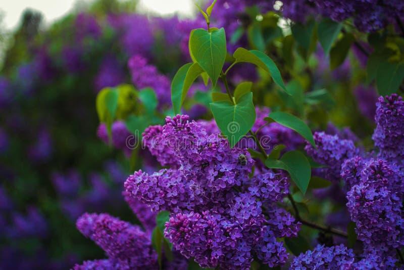 Mooie en zacht lilac bloemen bij de de lente zonnige dag stock foto's