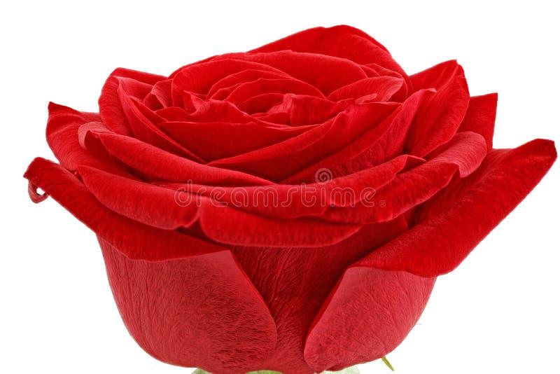 Mooie enige rood nam bloem toe. Geïsoleerd. royalty-vrije stock afbeeldingen