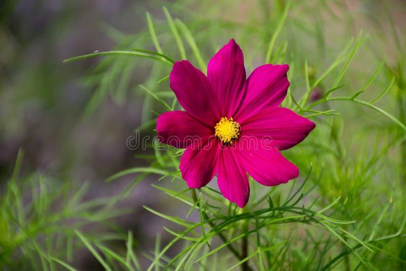Mooie enige roze tuinkosmos royalty-vrije stock afbeeldingen