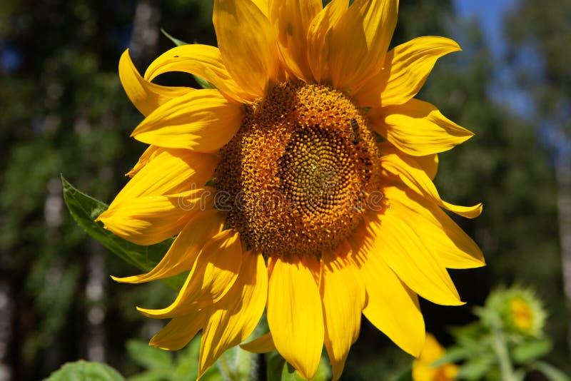 Mooie enige zonnebloem met bij stock foto