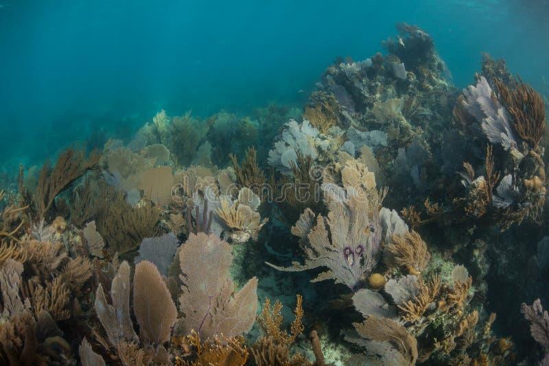 Mooie Ertsader dichtbij Belize in de Caraïbische Zee stock foto