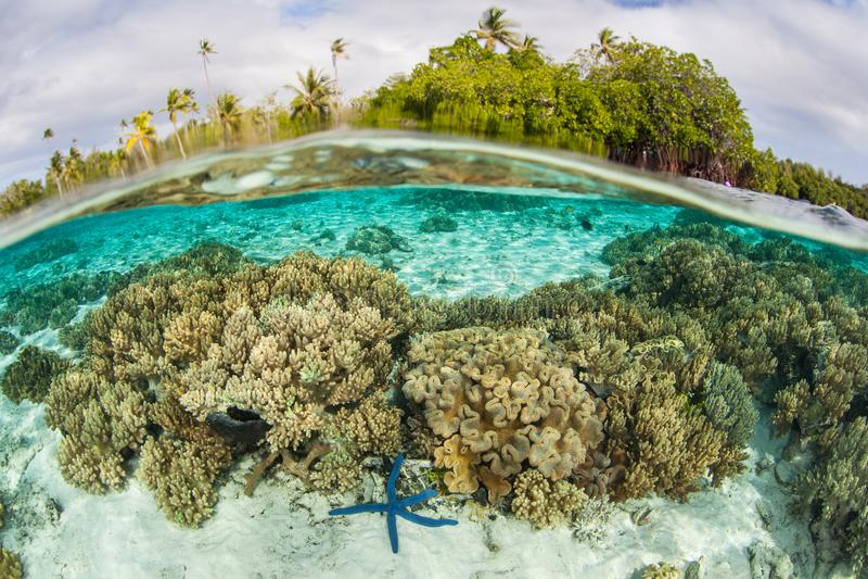 Mooie Ertsader en Zeester in Ondiepte van Solomon Islands royalty-vrije stock foto