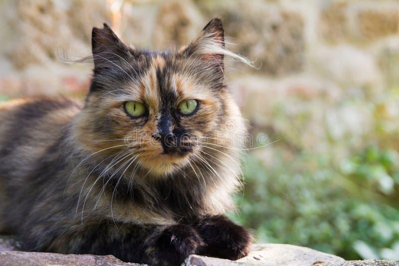 Mooie Europese kat royalty-vrije stock afbeeldingen
