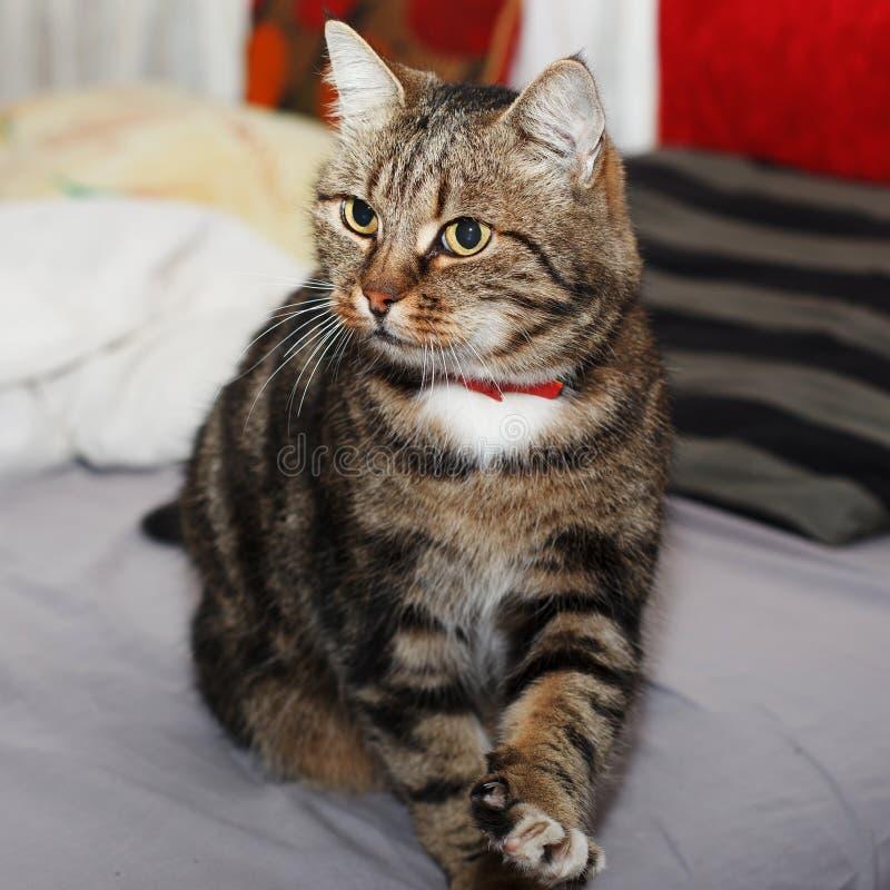 Mooie Europese kat met een rode kraag die zich op een bed bevinden met stock foto