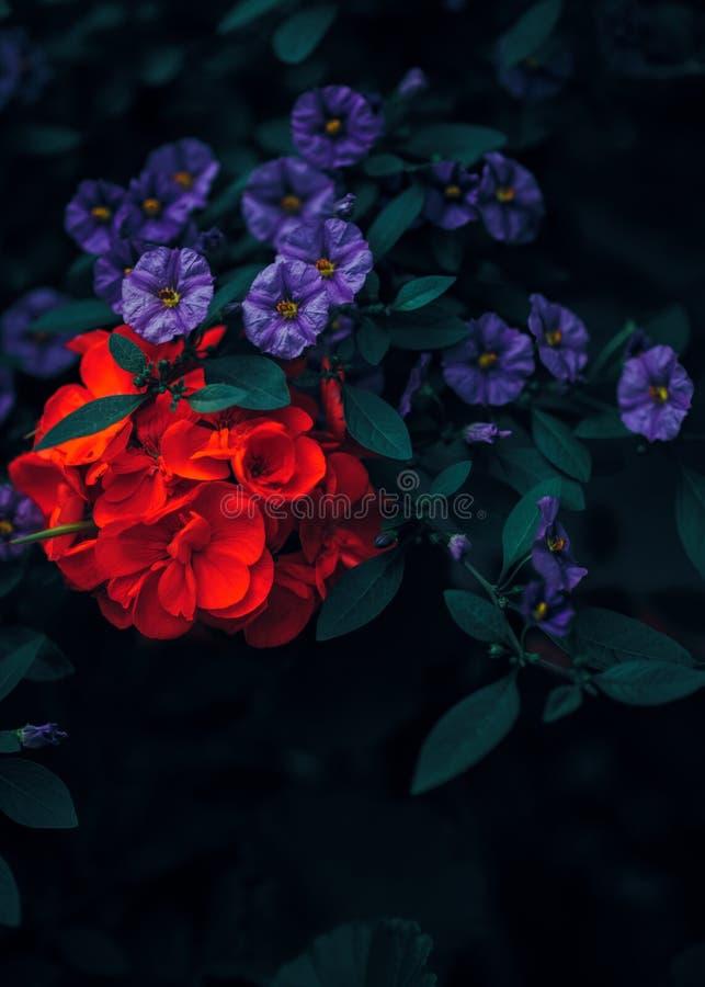 Mooie fee dromerige magische rode robijnrode en purpere bloemen met donkergroene bladeren stock foto's
