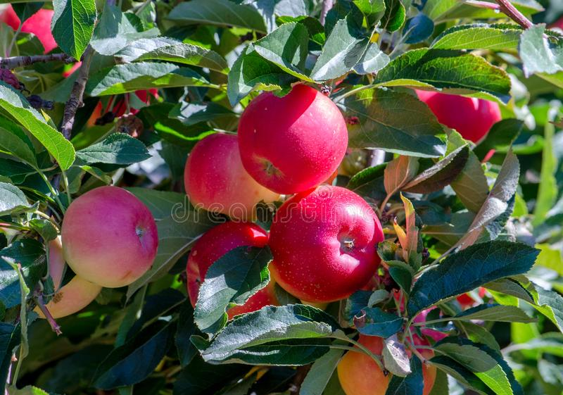 Mooie feestappelen in een boomgaard van Michigan royalty-vrije stock foto's