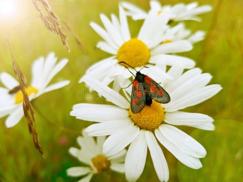 Mooie filipendulae van weinig zwarte en rode vlinderzygaena op een Madeliefje bloeien op een heldere Zonnige dag een close-upscho stock afbeelding