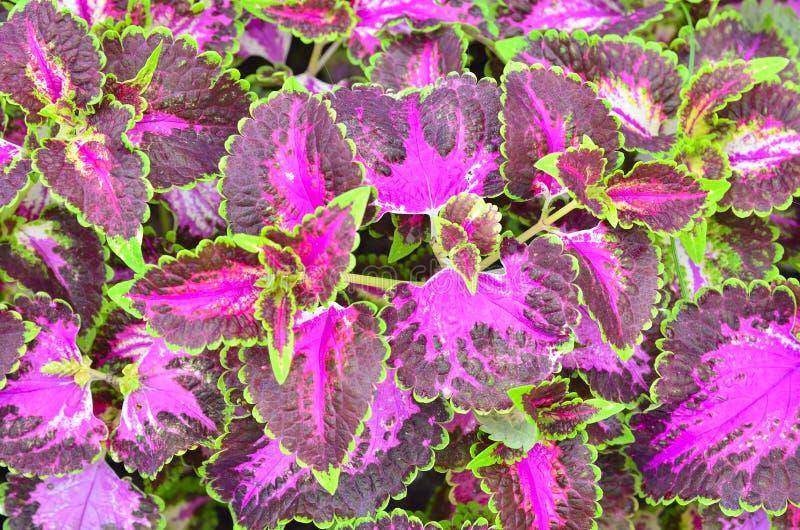 Mooie Fittonia royalty-vrije stock foto's