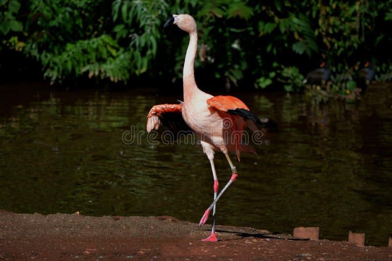 Mooie flamingo van Paignton-Dierentuin royalty-vrije stock afbeeldingen