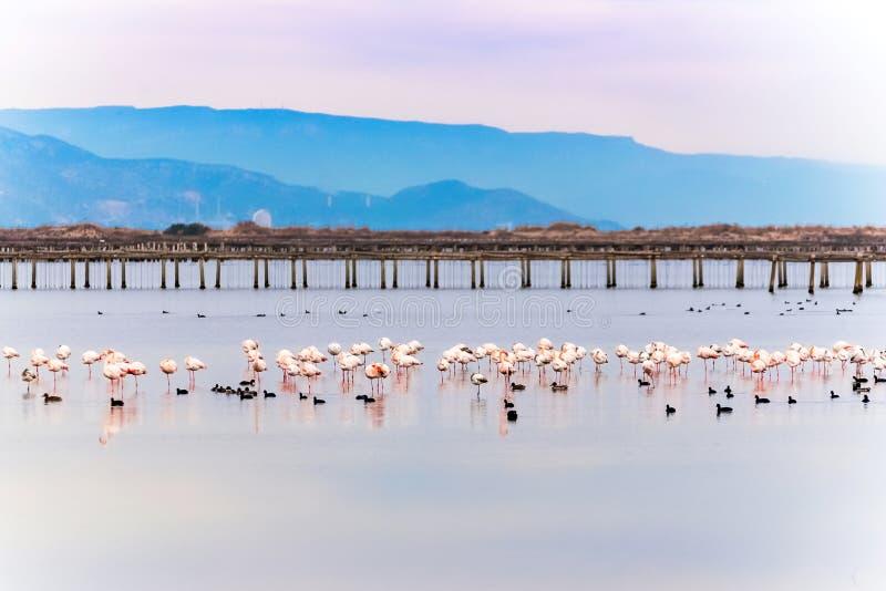 Mooie flamingogroep in het water in Deltadel Ebro, Catalunya, Spanje Exemplaarruimte voor tekst royalty-vrije stock afbeelding