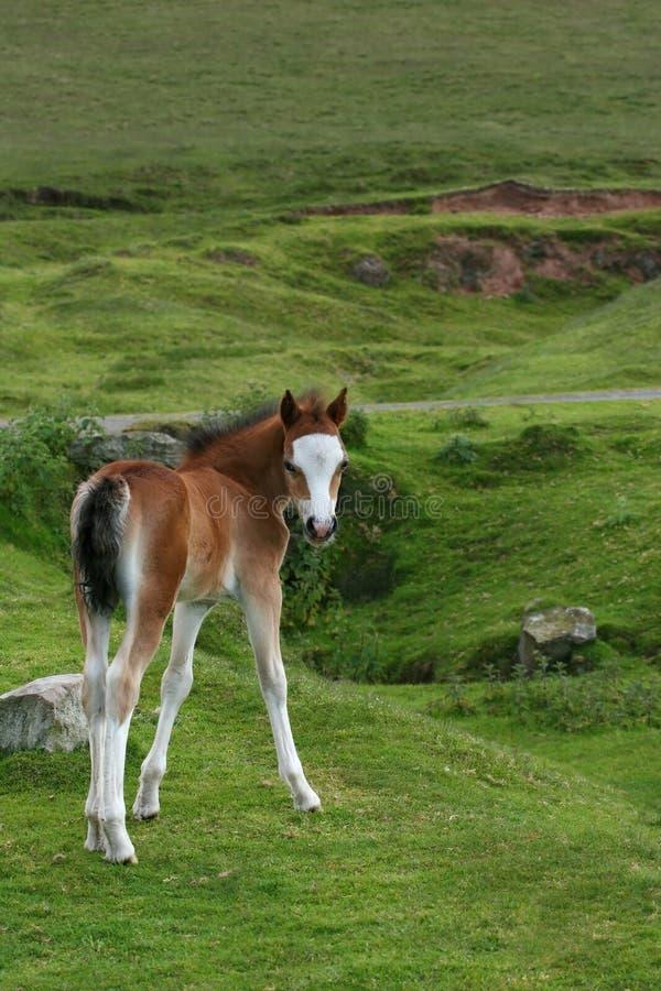 Mooie Foal stock afbeelding