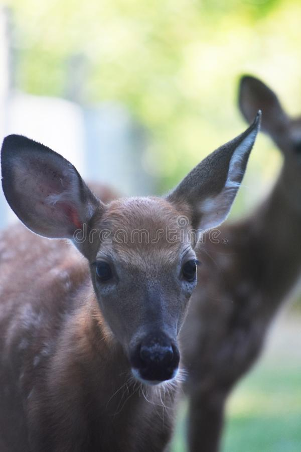 Mooie foto van een jong hert in de wildernis stock afbeelding