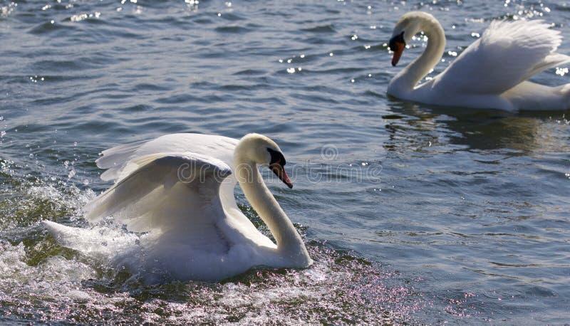Mooie foto van twee sterke zwanen in het meer royalty-vrije stock foto's
