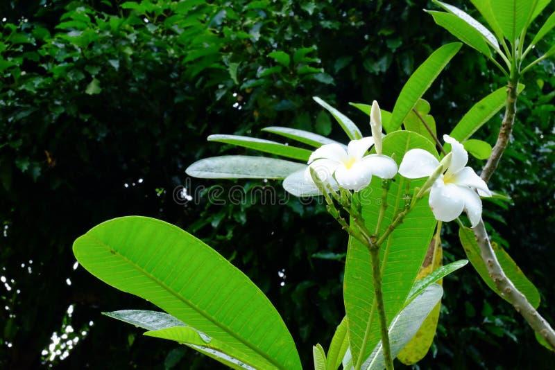 Mooie Frangipani-bloemen, Alba bloemen van Plumeria stock fotografie