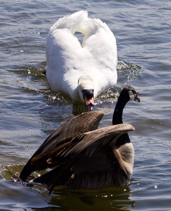 Mooie geïsoleerde foto van een gans van Canada onder aanval van een boze stodde zwaan in het meer royalty-vrije stock foto's