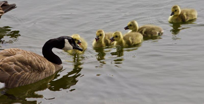 Mooie geïsoleerde foto van een jonge familie van de ganzen die van Canada samen zwemmen royalty-vrije stock foto's