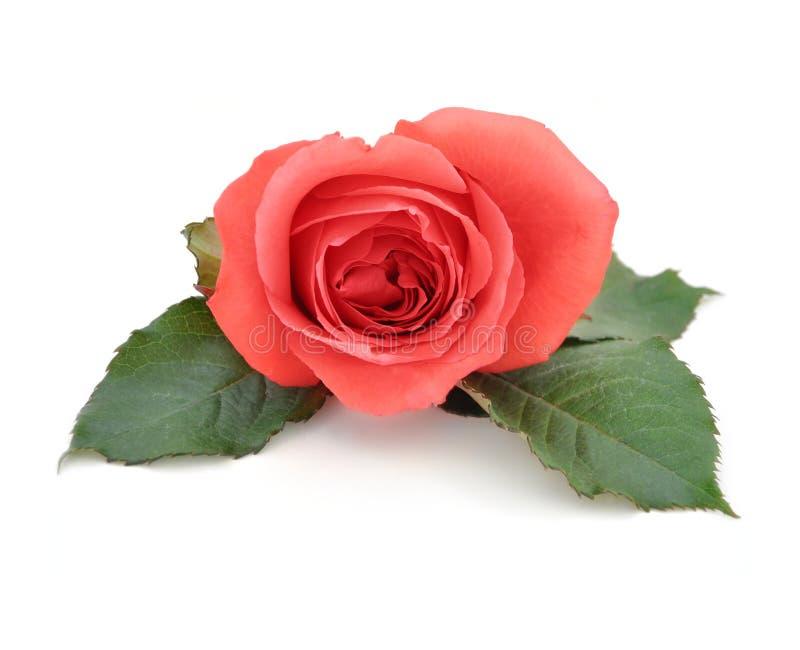 Mooie Geïsoleerdeo Romantische Rood nam toe royalty-vrije stock foto's