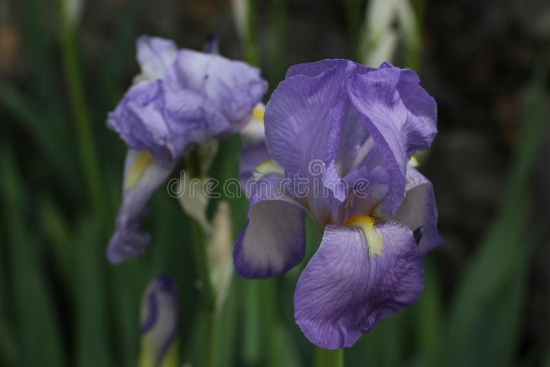 Mooie Gebaarde Iris, Iris Germanica stock foto's