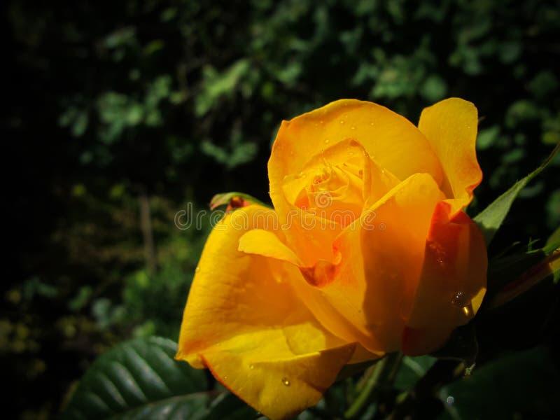 Mooie geel nam met dauwdalingen toe in de tuin op een zonnige dag Ideaal voor achtergrondgroetkaarten stock foto