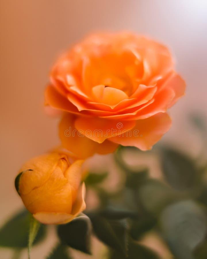 Mooie geeloranje rozen, zacht onduidelijk beeld bacground royalty-vrije stock afbeeldingen