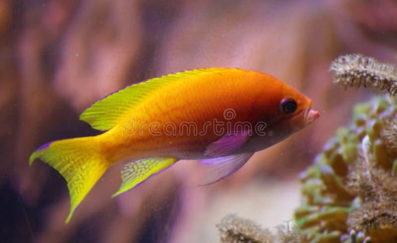 Mooie geeloranje tropische vissen met koraal in rug stock afbeeldingen