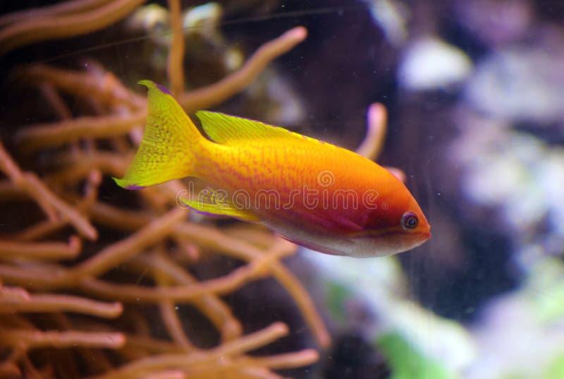 Mooie geeloranje tropische vissen met koraal in rug stock afbeelding