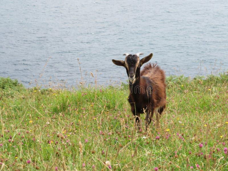 Mooie geiten die in vrijheid gras van het gebied en de berg eten stock afbeeldingen