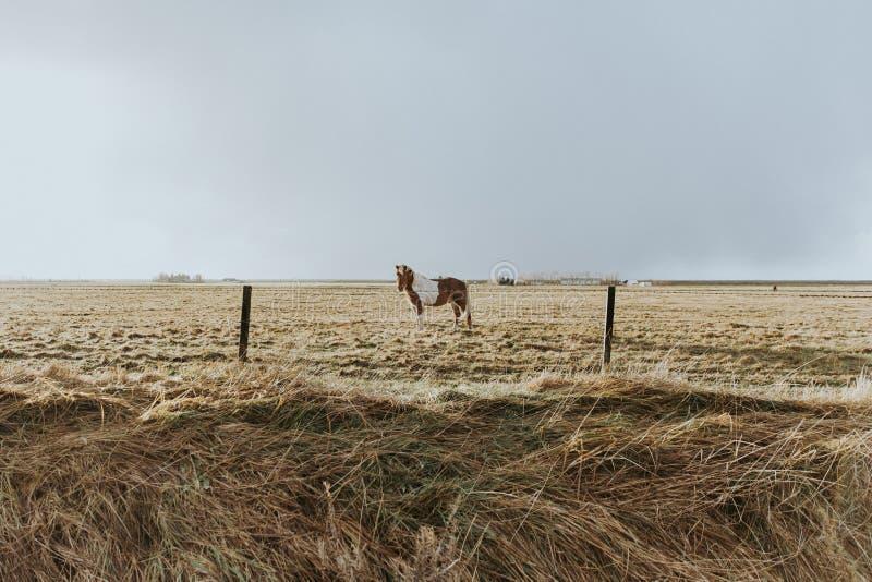 Mooie gekweekte wilde poney die zich op een gebied van droog gras achter een getelegrafeerde omheining bevindt royalty-vrije stock afbeelding