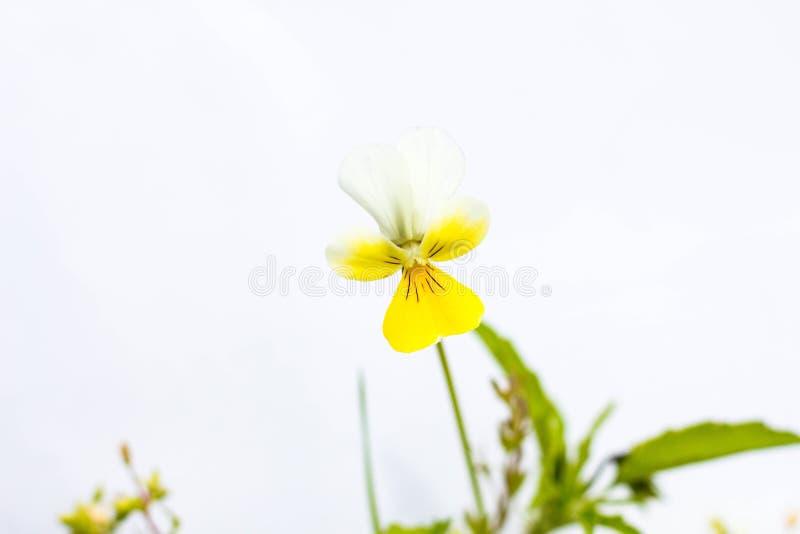 Mooie gele bloem op een witte achtergrond stock afbeeldingen