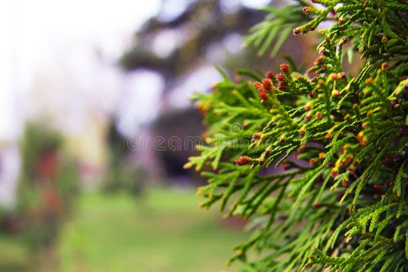 Mooie gele bloemen onder het gras en de bladeren Aard en de lente Dacha, bos of park Mooie takken van jeneverbes in stock foto