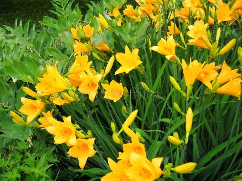 Mooie gele bloemen van dag-lelie royalty-vrije stock foto's