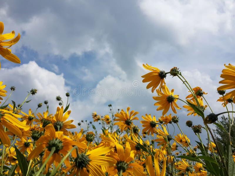 Mooie gele de artisjokbloemen van Jeruzalem en blauwe bewolkte hemel stock foto