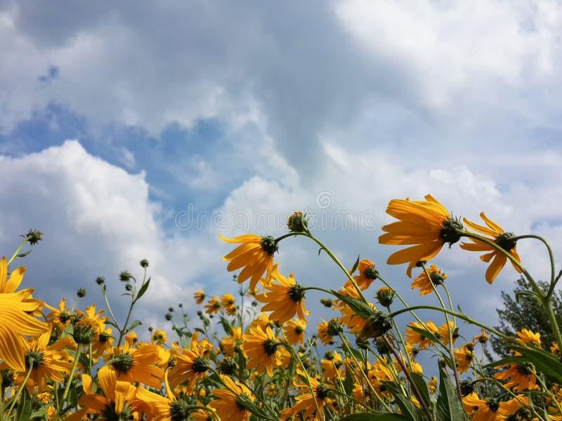 Mooie gele de artisjokbloemen van Jeruzalem en blauwe bewolkte hemel royalty-vrije stock afbeeldingen