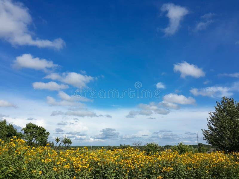 Mooie gele de artisjokbloemen van Jeruzalem en blauwe hemel royalty-vrije stock foto's