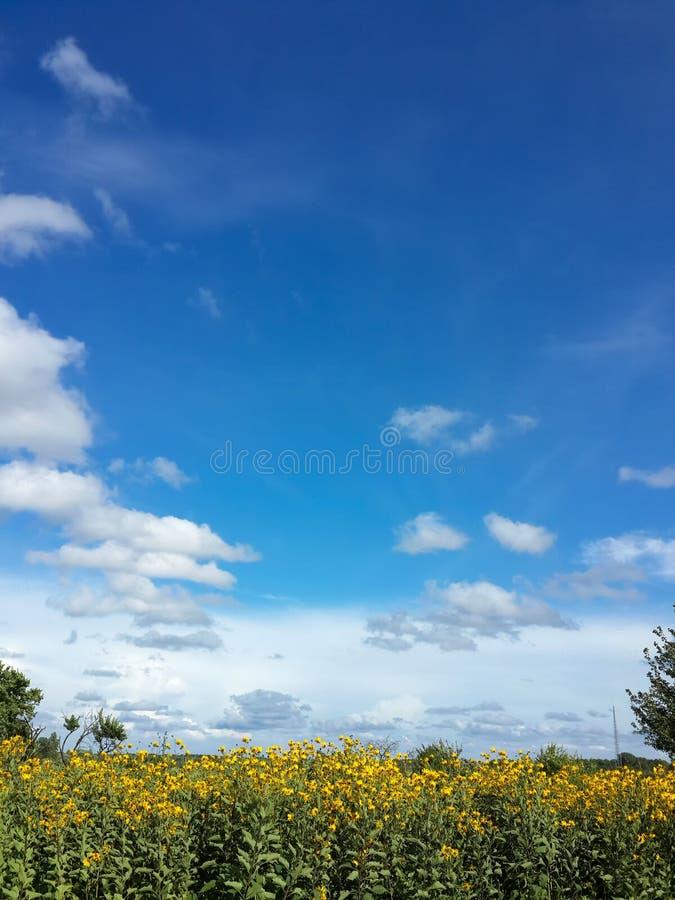 Mooie gele de artisjokbloemen van Jeruzalem en blauwe hemel royalty-vrije stock afbeelding