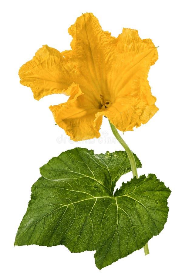 Mooie gele die bloem van pompoen, op witte achtergrond wordt geïsoleerd royalty-vrije stock fotografie