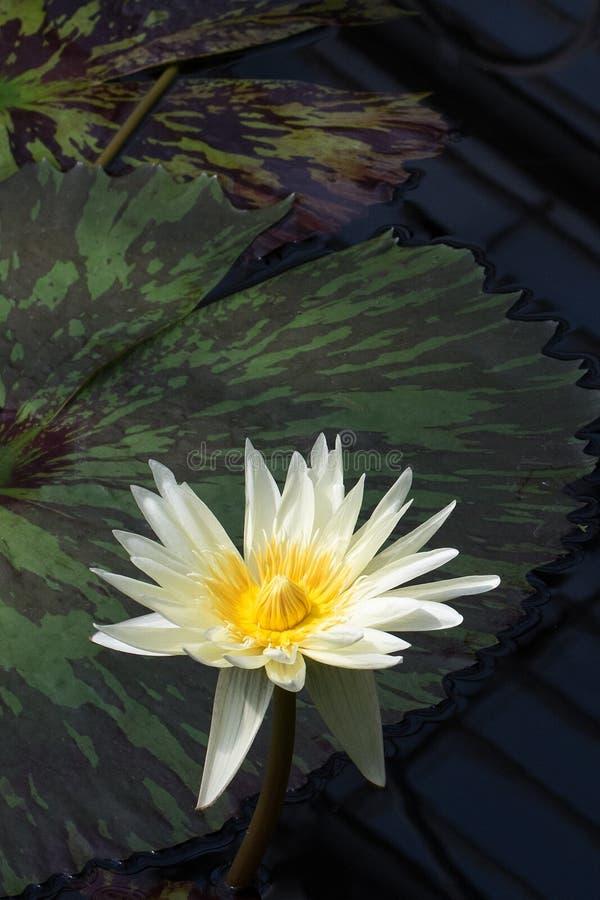 Mooie gele en stroomversnellinglelie royalty-vrije stock afbeelding