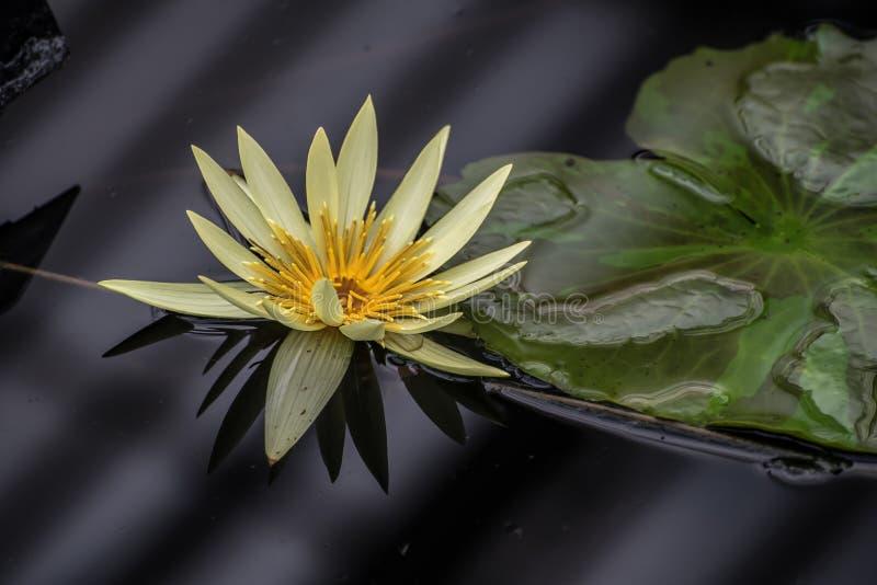 Mooie gele en stroomversnellinglelie stock fotografie