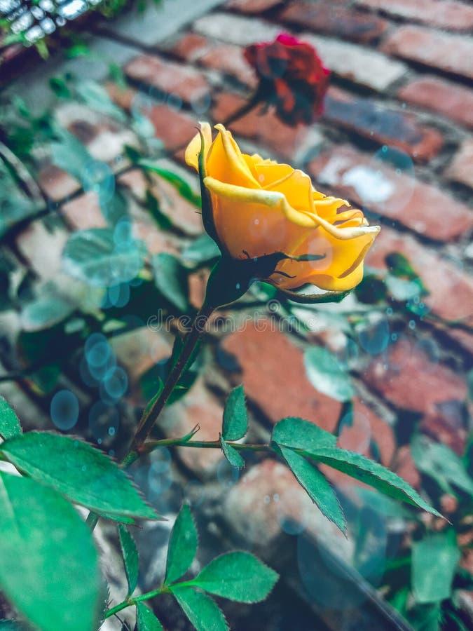 Mooie gele Engelse rozenbloem in mijn tuin op india stock afbeeldingen