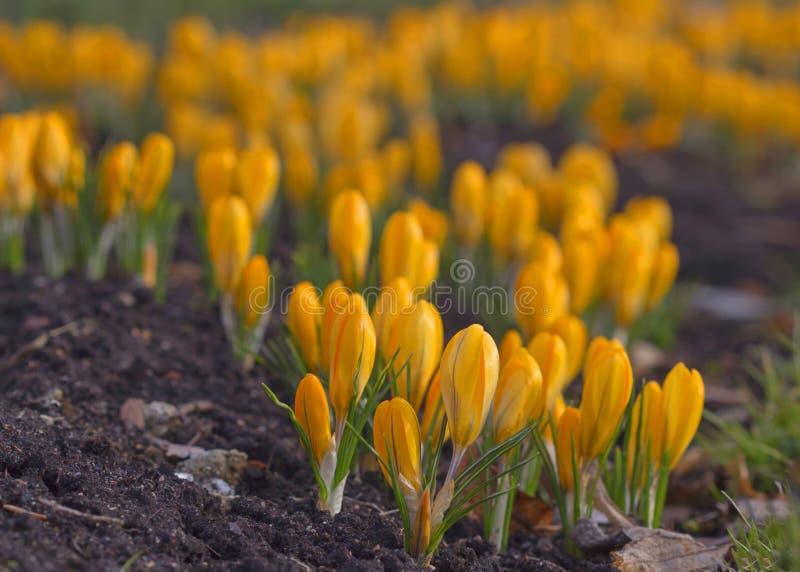 Mooie gele krokusbloem Vroege de lentebloemen stock afbeelding