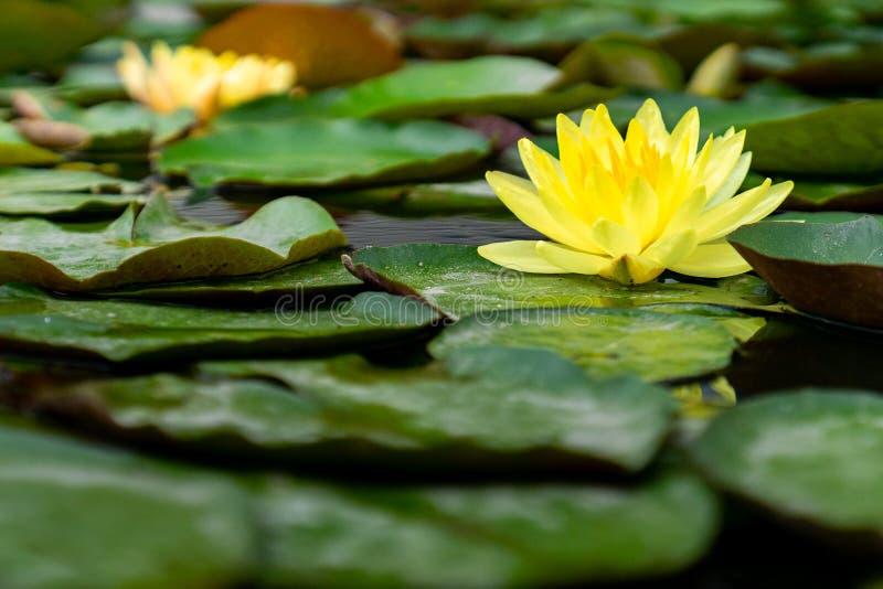 Mooie gele lotusbloembloem in het vijverhoogtepunt van groene bladeren stock foto