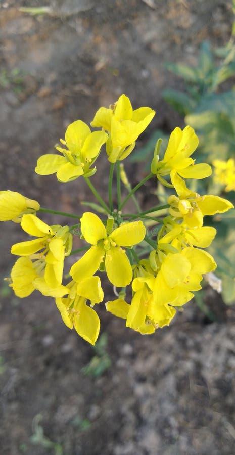 Mooie gele mosterdbloemen op gebied van mijn dorp royalty-vrije stock fotografie