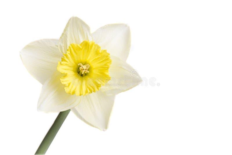 Mooie gele Gele narcis op een perfecte witte achtergrond stock fotografie