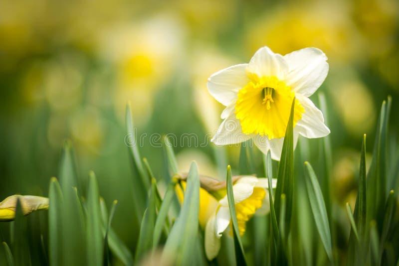 Mooie gele gele narcissen royalty-vrije stock foto's