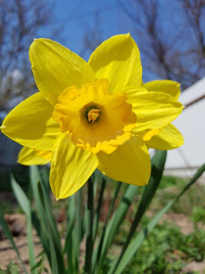 Mooie gele narcissennarcissen in tuin stock fotografie
