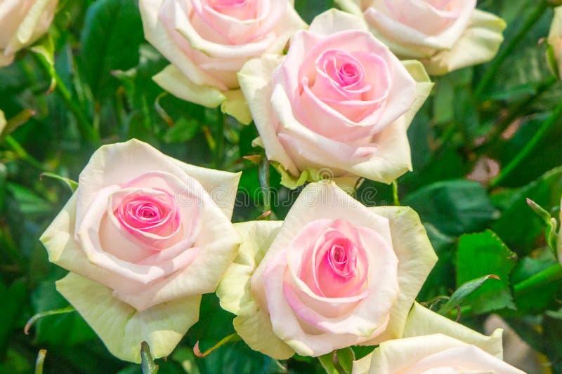 Mooie gele rozen met een purper centrum stock foto