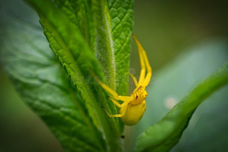 Mooie gele spin die van de fotograaf proberen te ontsnappen stock illustratie