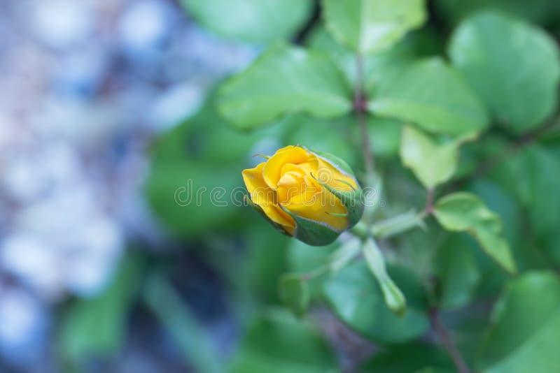 Mooie gele tuinrozen Nam struik in de tuin toe stock afbeelding